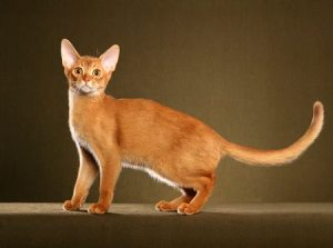 Abyssinian Cat foreign body shape